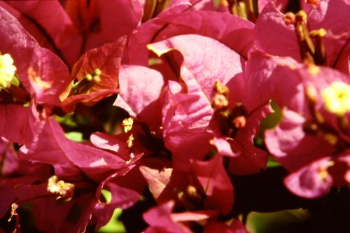birma-red-flowers
