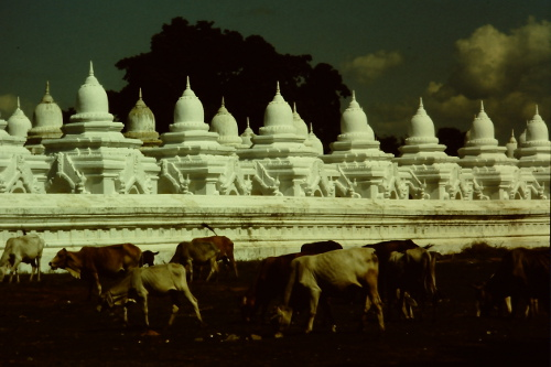 mandalay-cattle
