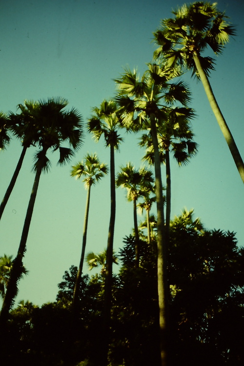 pagan-high-palm-trees