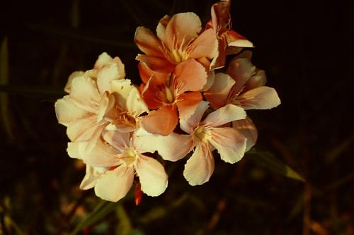 pagan-pink-flower
