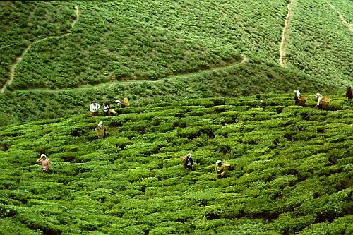 darjeeling-tea-harvest