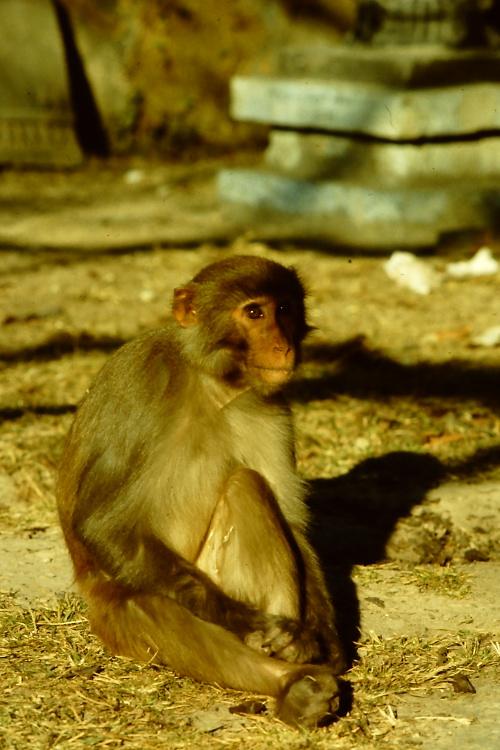 monkey-swayambhunath