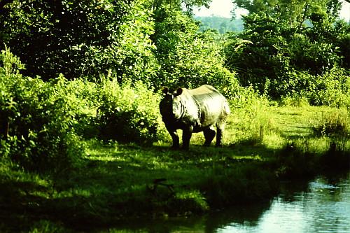 rhino-chitwan